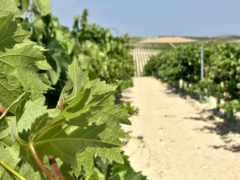 southern spain vineyard